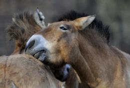 Przewalski horses share a moment of tenderness in an enclosure at the Troja Zoo in Prague in 2011