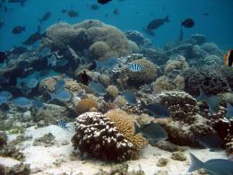 Rapid coral death by a deadly chain reaction