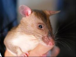 RATS research may teach rodents to detect explosives