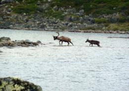 Reindeers crossing a lake in Quebec's tundra, in 2011