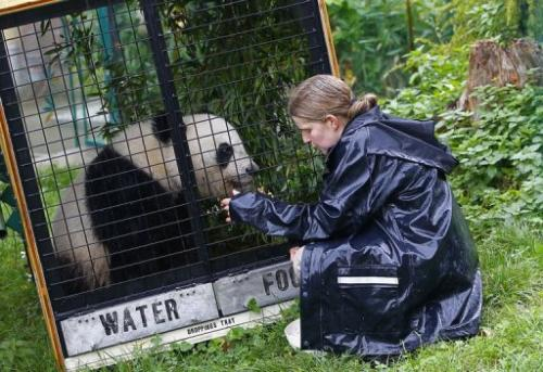 Renate Haider (L), caretaker at the Schonnbrunn zoo, interacts with panda Fu Hu during  exercises in its transport cage