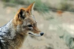 Reports of wild animal sightings are common in Switzerland, where many carnivores are protected