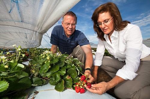 Research aims to extend strawberry growing season in mid-atlantic region