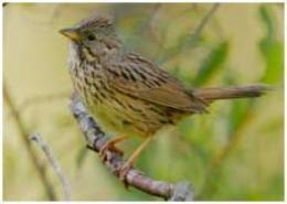 Restoring streamside forests helps songbirds survive the winter in California's Central Valley