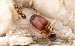 Supersoldier ants created in the lab by reactivating ancestral genes