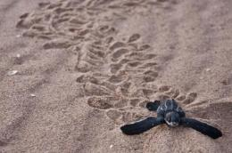 Rising heat at the beach threatens largest sea turtles, climate change models show