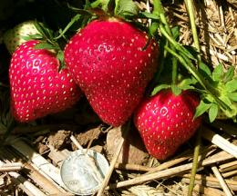 Rugged new strawberry has a hint of pineapple