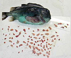 New promise in sea lice-eating lumpfish