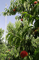 Saving water without hurting peach production