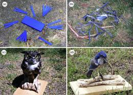 Scrub jays react to their dead
