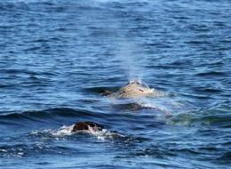 Search on for entangled whale off Calif. coast (AP)