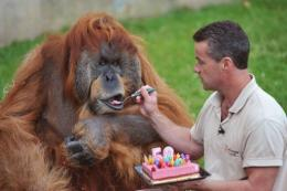 Sebastien Laurent, manager of the La Boissiere-du-Doree zoo, gives a slice of cake to Major the orangutan