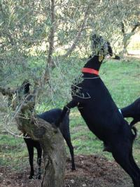 Selective grazing and aversion to olive and grape leaves achieved in goats and sheep