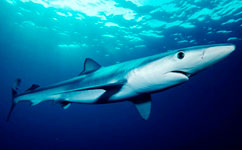 Shark fin soup to blame for blue shark decline