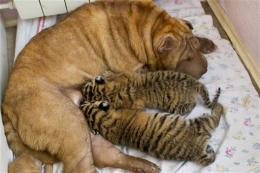 Shar Pei nurses 2 endangered tiger cubs in Russia
