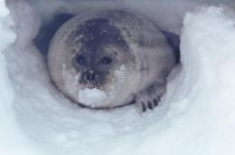 Shrinking snow depth on Arctic sea ice threatens ringed seal habitat