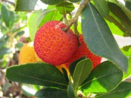 Silver nanoparticle synthesis using strawberry tree leaf