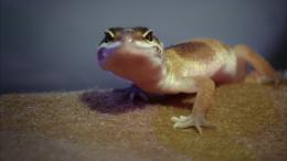 Slow-motion film reveals what happens when lizards drop their tails