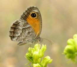 Some butterfly species particularly vulnerable to climate change