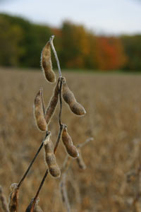 Soybean can grow in New York, thanks to climate change