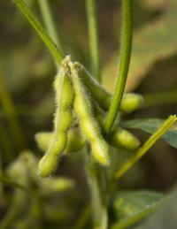 Soybeans a source of valuable chemical