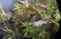 Friends with benefits: Study finds insects aid in moss sex