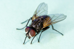 Stopping flies before they mature