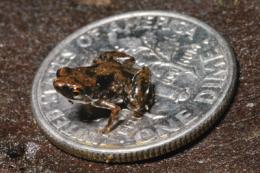 Student researchers help discover world's smallest frog