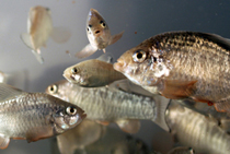 Study finds fish offspring grow best at same temperature as parents