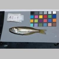 Study to examine how mining and climate affect native fish