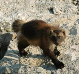 Study: Wolverines need refrigerators