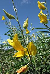 Sunn hemp shows promise as biofuel source