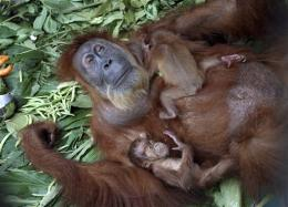 Surgery allows blind orangutan to see her babies