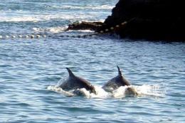 Taji town caught 928 dolphins in 2011, according to Wakayama prefecture
