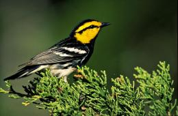 Texas AgriLife Research study updates population of endangered golden-cheeked warblers