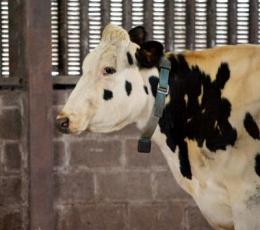 'Texting cow' technology boost for farmers