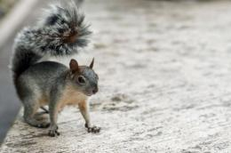 The American grey squirrel is