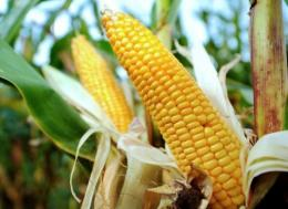 The European Food Safety Authority said it cannot accept a report on a link between cancer and genetically modified corn