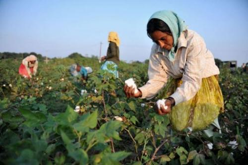 The intensive farming process for cotton leaches the soil and requires high pesticide and fertiliser use