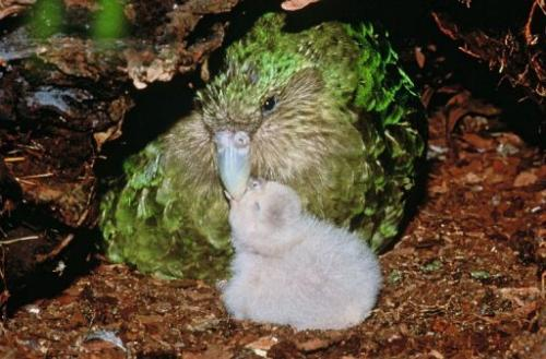 The kakapo parrot can live up to 90 years