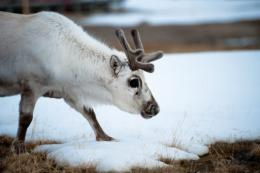 the number of calves per female Arctic reindeer fluctuateS sharply according to rainfall patterns