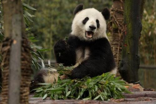 The pandas will be left to fend for themselves to learn crucial survival skills