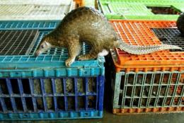 The pangolin is protected under the UN's Convention on International Trade in Endangered Species