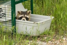 The raccoon spreads dangerous diseases as it invades Europe
