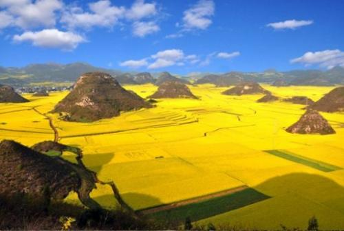 The rapeseed plants in full bloom and ready for harvest in China in March 2012
