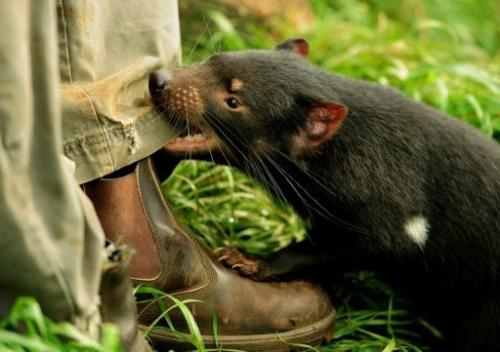 The wild population of Tasmanian devils has slumped by more than 90% since facial cancer first surfaced in 1996