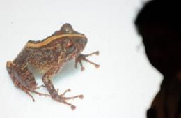 This mottled brown frog found in the Philippines has red eyes with a broad yellow stripe running down its back
