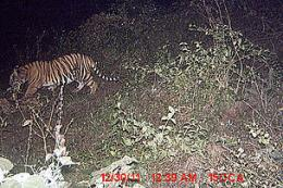 Tiger captured for first time using Northern India wildlife corridor