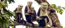 Tonkin snub-nosed monkey sighting in Vietnam