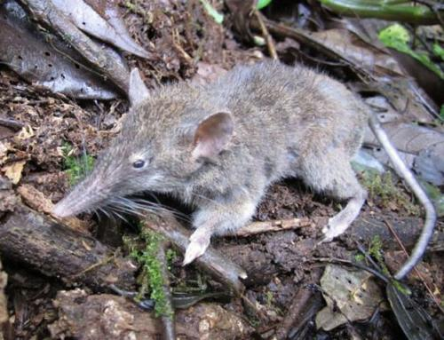 'Toothless' rat discovered on the island of Sulawesi